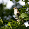 2013_yellow-billed cuckoo_Toltec Mounds_Arkansas