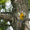 2013_prothonotary warbler_Toltec Mounds_Arkansas