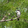 2013_eastern kingbird_Toltec Mounds_Arkansas