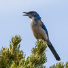 Singing Mountain bluebird