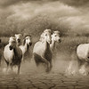 WILD WHITE HORSES OF THE CAMARGUE France