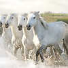 THE 4 HORSES ll Wild White Horses of the Camargue, France