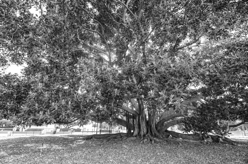 Moreton Bay Fig Balboa Park