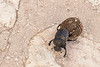 Dung beetle in Scopello, Sicily Scopello