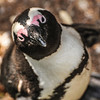 Penguin - Boulders Beach - South Africa