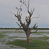 Tree with roosting cormorants
