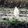 Cattle Egret in rice paddy
