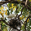 Little Egret on Nest