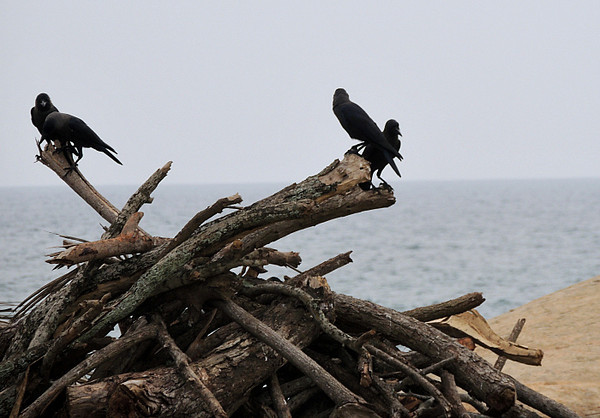House Crows on the beach
