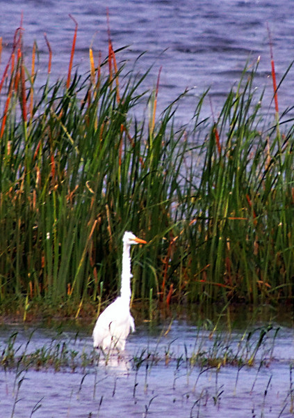 Eastern Great Egret and Reedmace