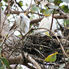 Little Egret with Chicks