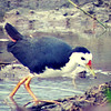 White-breaster Waterhen