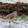 Indian Pond Heron in rice paddy