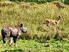after which the young rhino investigates the reedbuck,