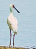 and the strange but arresting African spoonbill.