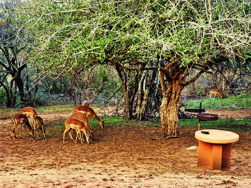 and impalas grazing around outside my windows next to the rusty and probably not usable barbeque are a wonderful sight to behold and a big bonus.