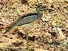 Waterbirds, of course, are also around, like the striking water thick-knee