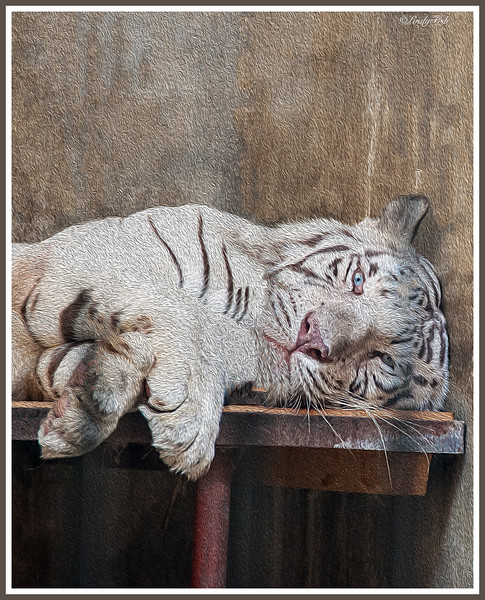 Sleepy White Tiger