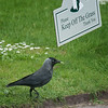 6/16 - Obviously this little Jackdaw can't read.