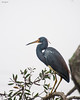 Little Blue Heron at Woodsmoke.