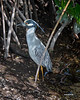 Yellow Crowned Night Heron - Ding Darling   First time I have ever seen one.  He stood and posed for several minutes.