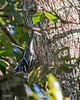 Black and White Warbler - 6 Mile Cypress Slough
