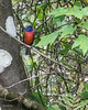 Male Painted Bunting - Corkscrew Swamp Refuge