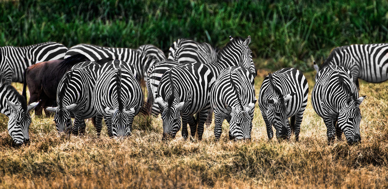 Zebra's at Ngorongoro Crater National Park