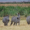 Zebra at Ngorongoro Crater