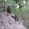 Baboons on Termite Hill