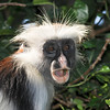 A Surprised Zanzibar Red Colobus in the Trees.