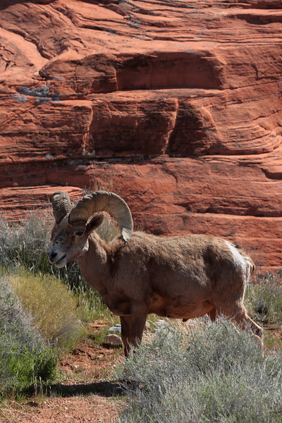 A wild ram in the Valley of Fire.