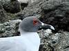 Swallow-Tailed Gull (Genovesa)