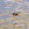 Pied-billed Grebe  Copyright 2011 Neil Stahl