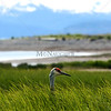 Heron along the Homer Spit, Alaska