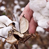 Man's hand holding a cotton plant