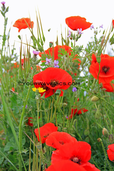 5394_Trausse poppies.JPG