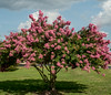 • Location - Around the Holiday Inn in Fayetteville, NC<br /> • Crepe Myrtle Tree with its pretty pink flowers