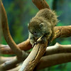 Infant Bolivian gray titi monkey
