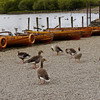 UK Trip, Lake District, Geese at the Derwentwater, Keswick Dock