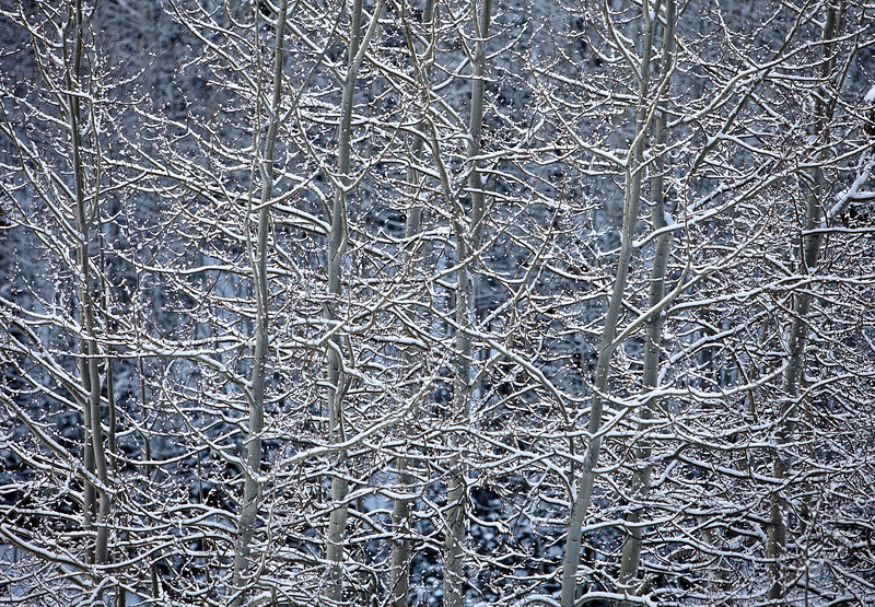 A nature abstract showing sunlight reflecting off snow covered branches of aspen trees in a winter landscape near Snowmass, Colorado.