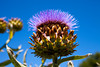 An artichoke head on an organic farm allowed to go to seed shows a large purple flower.