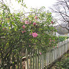 Old-fashioned Roses - Ash Lawn-Highland - James Monroe's Home  11/18/12 Still blooming in November.