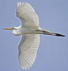 American egret flying over Hampton Waterfront.