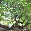 Mulberry Tree Over 100 Years Old - Lewis Ginter Botanical Gardens - Richmond, VA