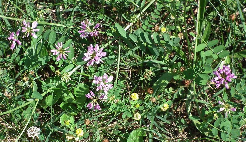 Crown Vetch (Securigera varia), Violets & More - Dodd Cabin - Nelson County  6-20-15