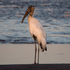 A Wood Stork at dusk on the Rio Tarcoles.