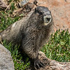 Hoary marmot (Marmota caligata). Glacier Vista, Paradise, Mount Rainier National Park