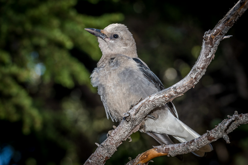 Clark's nutcracker (Nucifraga columbiana). Sunrise, Mount Rainier National Park