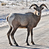 Bighorn sheep in the wild of Wyoming.